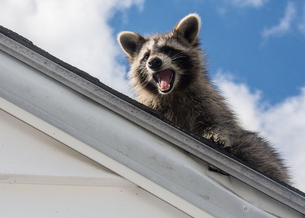 raccoon on roof