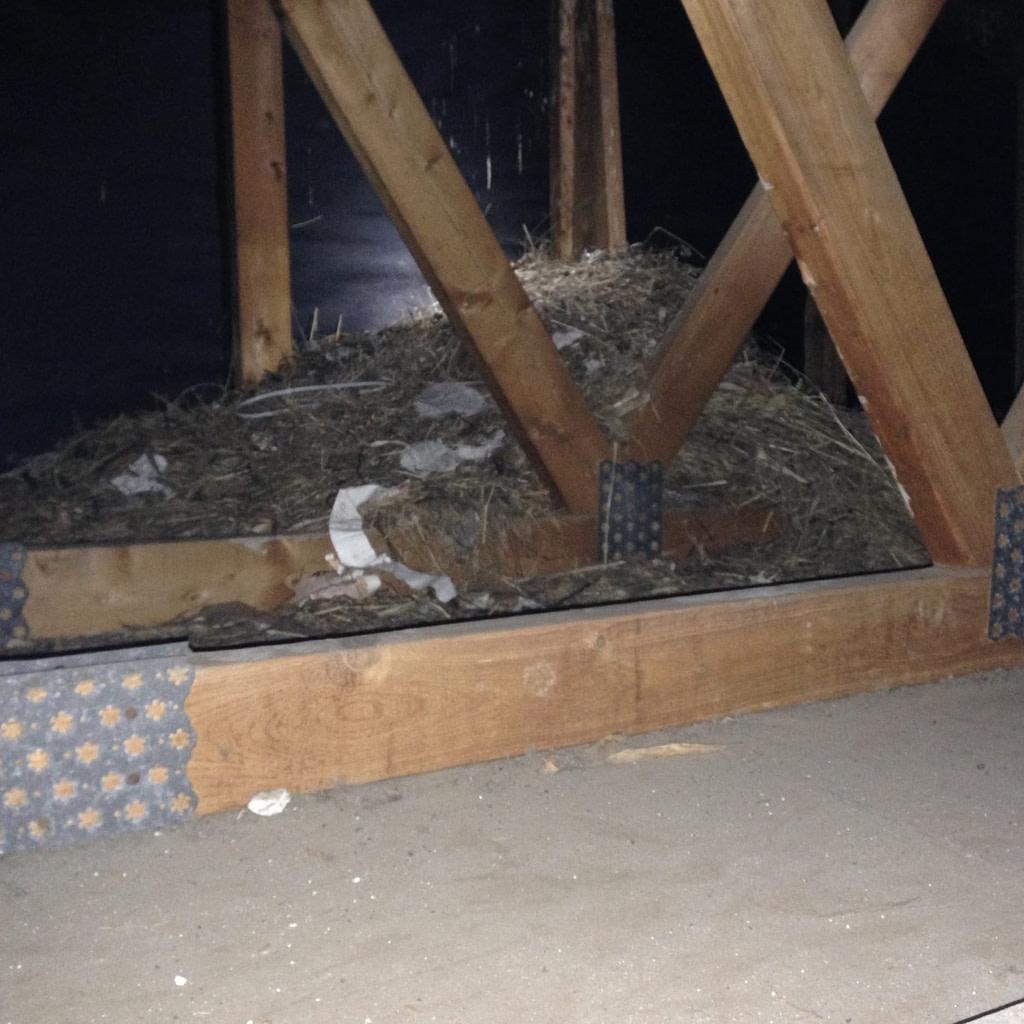 huge bird nest in attic