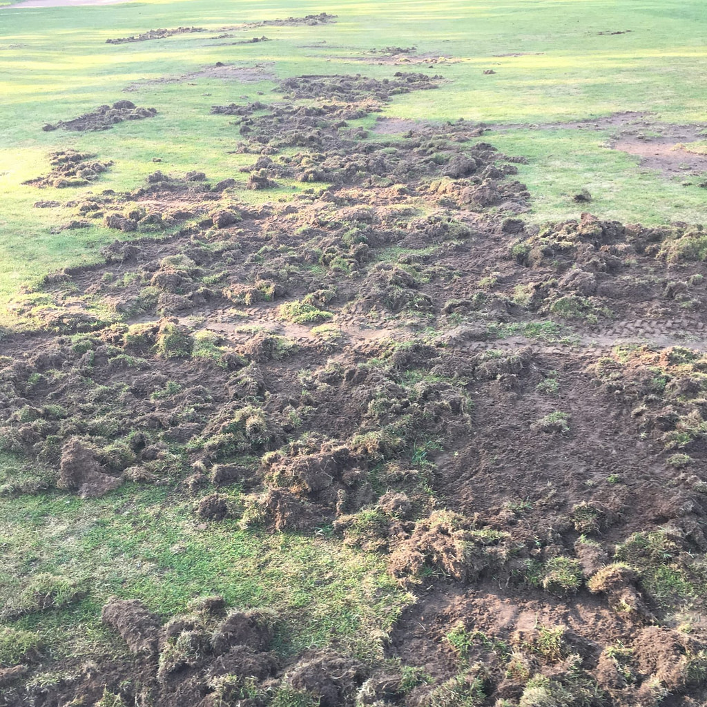 raccoon damage to golf course