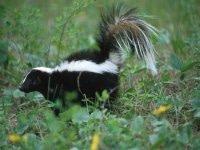 skunk in back yard