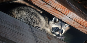 raccoon in the attic of a home