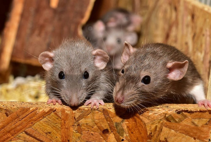 pest control for rats and mice