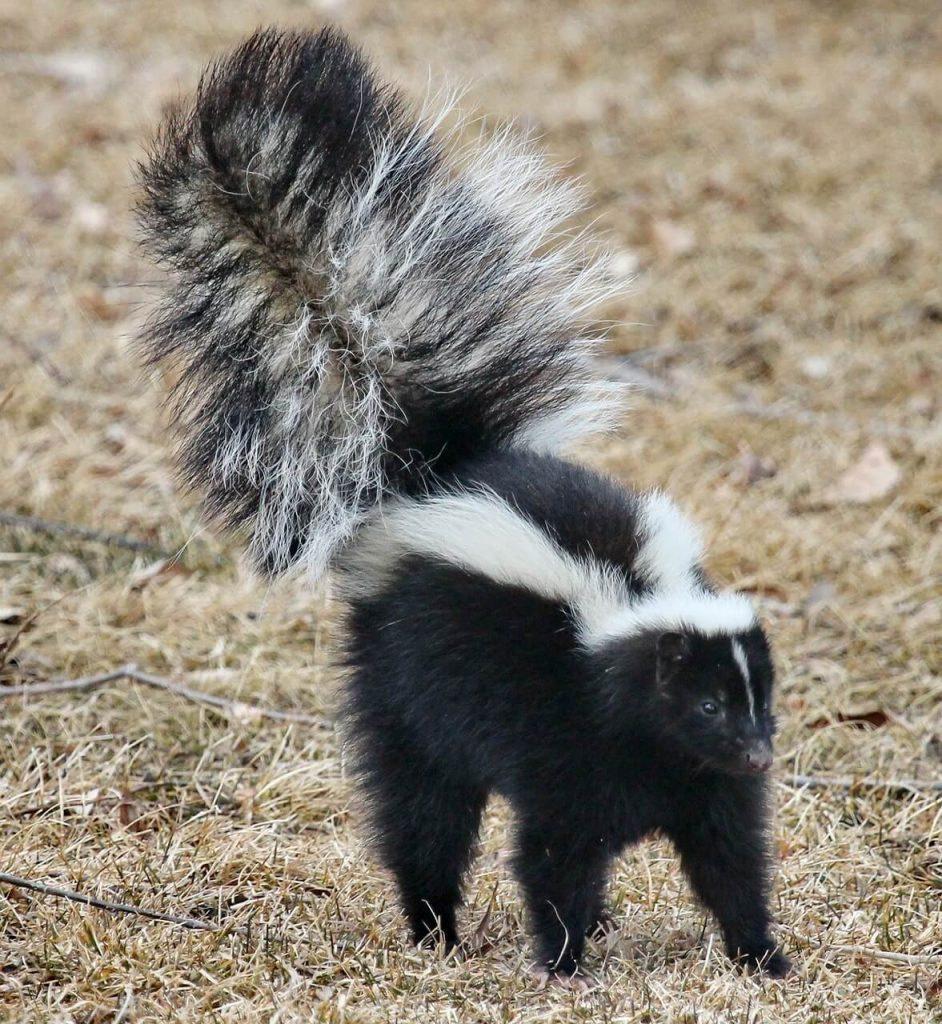 skunk alarmed