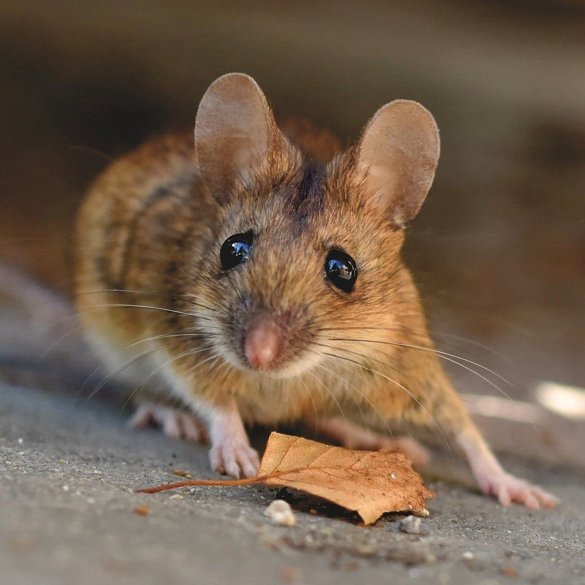 mouse removal services
