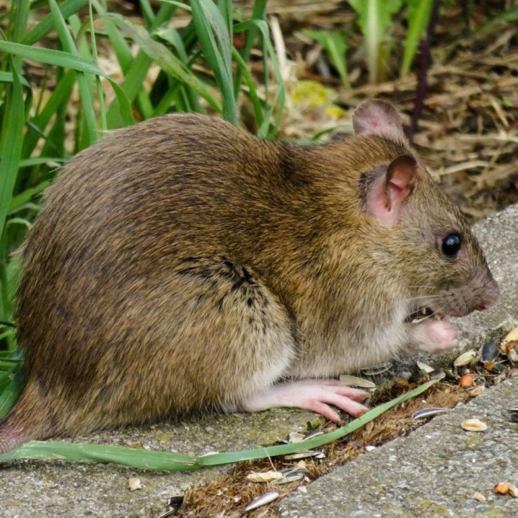 rat removal service