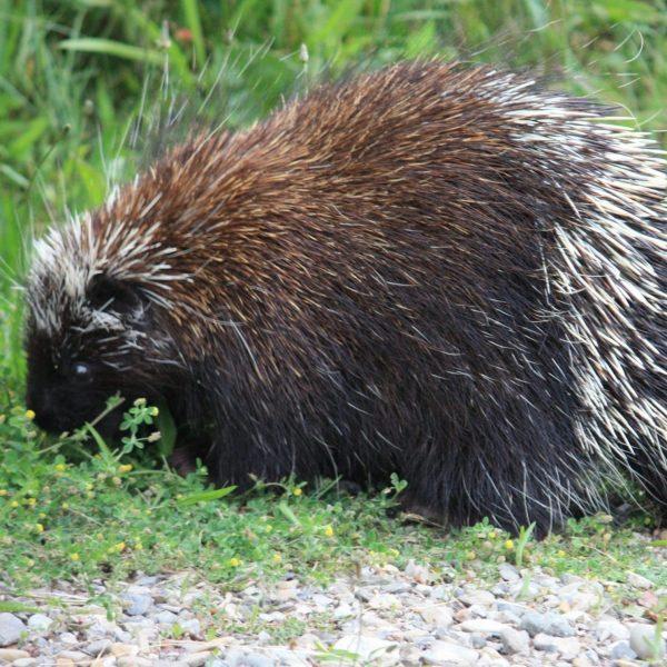 porcupine removal ottawa
